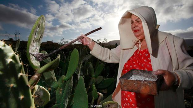 A farmer collects cochineal insects from cacti.