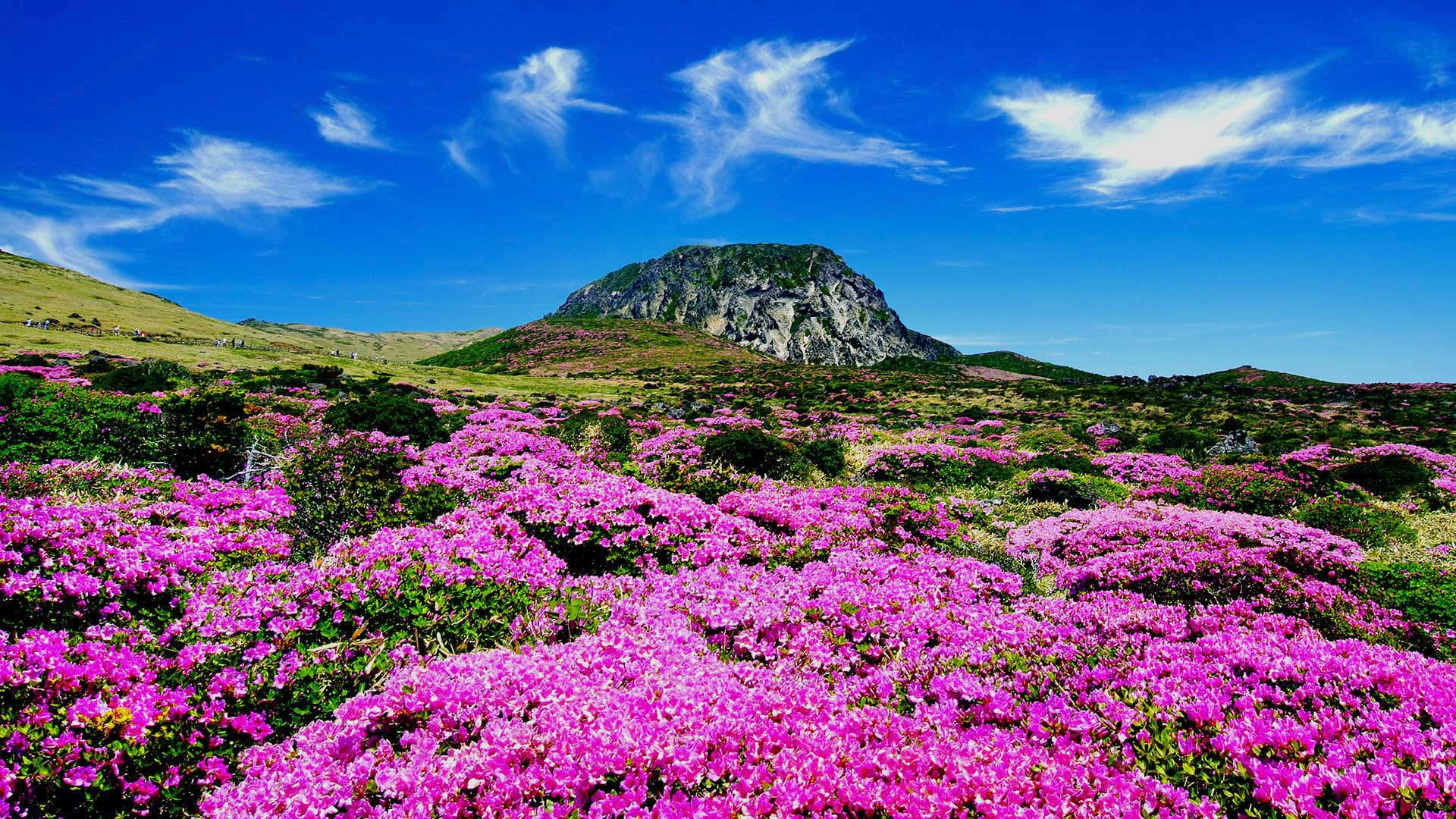 Pink Flowers in Jeju