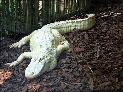 albino_alligator_2
