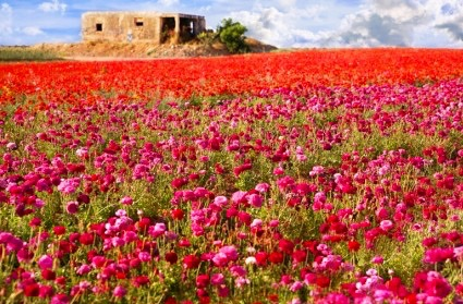 israel-flowers-field_1