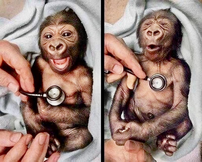 Yakini the baby gorilla gets a check up at the Melbourne Zoo