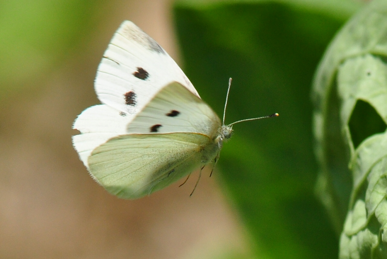 Cabbage Butterfly reaching leaves
