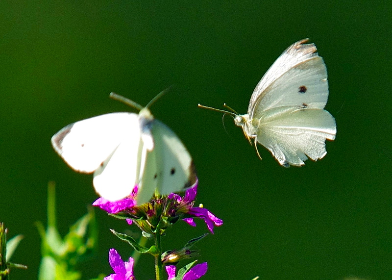Pieris rapae Cabbage White Butterflies d
