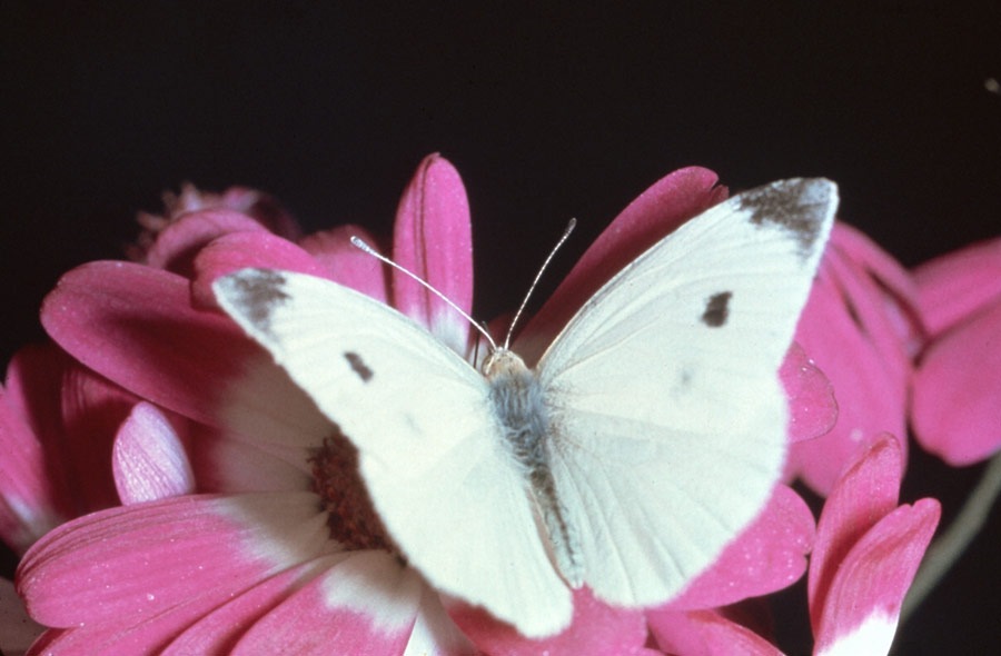 cabbage moth cabbage butterfly 1