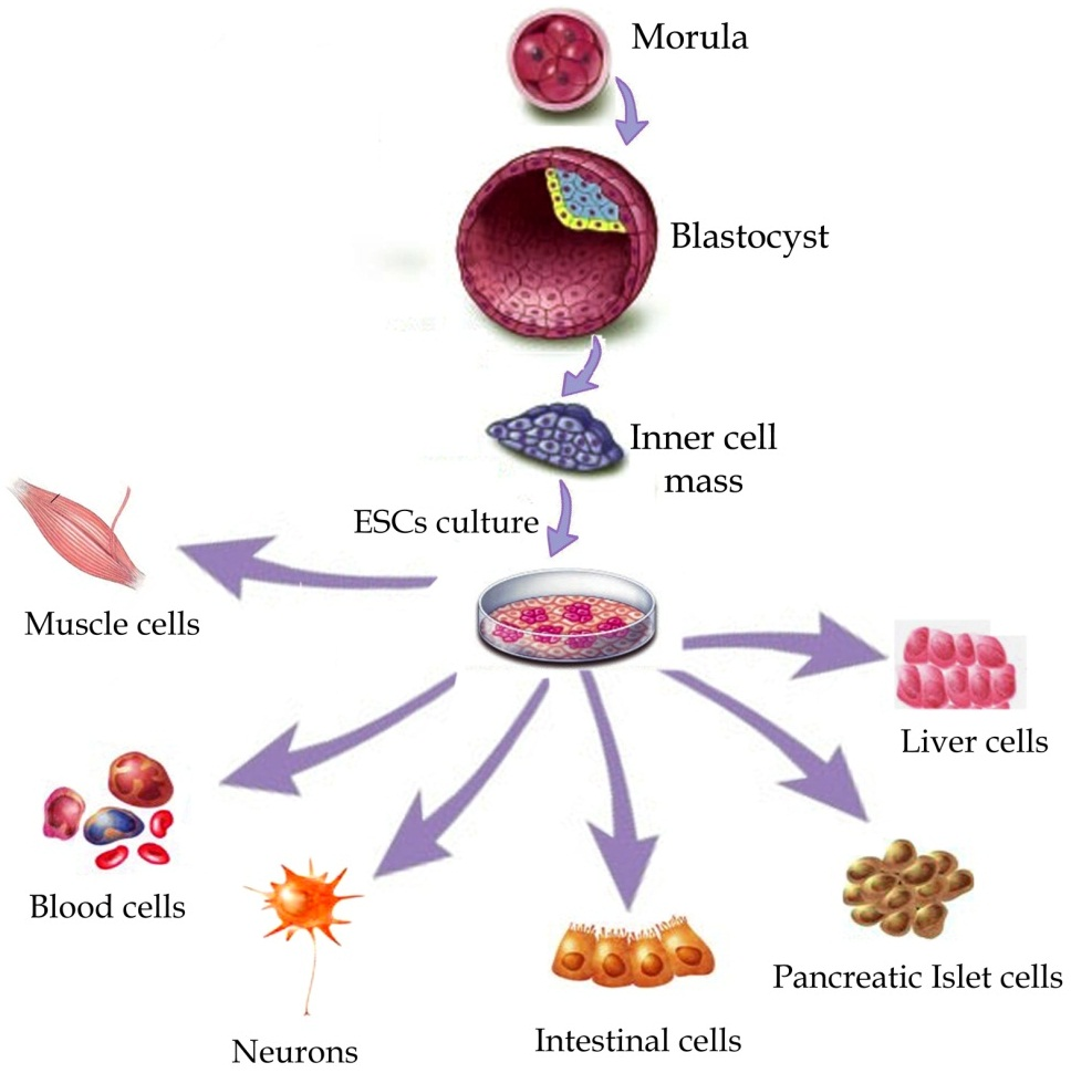 stem cell body parts