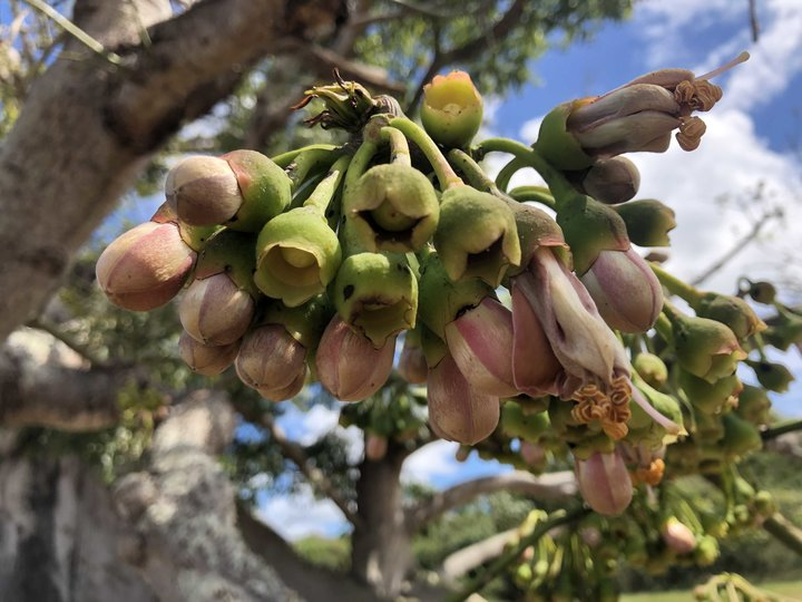 Ceiba Blossoms on Vieques PR