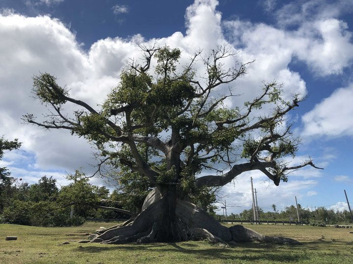 Ceiba Tree in Vieques PR