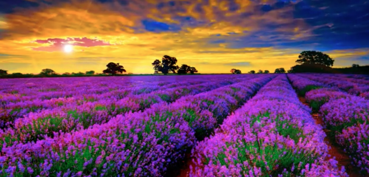 Provence Lavender Fiels